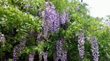 這4種爬藤植物太好養了,輕易就養爆成瀑布,可以垂下來當窗簾