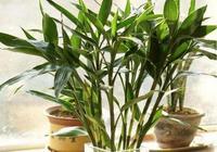 富貴竹的養花要領