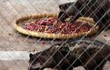印尼人為發家致富,竟將此動物長期關押日夜餵食
