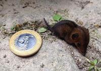 里約公園發現超小負鼠 大小如1元硬幣