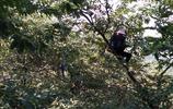 農家忙碌摘板栗,中午也顧不上回家吃飯,還要將成袋的板栗運下山