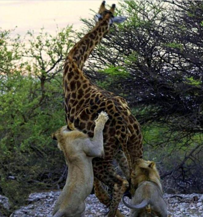 實拍:動物世界十大殘忍狙殺,原來鱷魚還是打不過蟒蛇