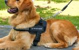 """遛狗不用狗繩了?新型""""寵物神器""""迅速走紅,出門遛狗不怕勒"""