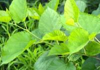 有人專門到農村採摘桑葉當菜吃,桑葉好吃嗎?吃了有啥好處?