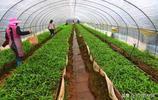 雲南悅豐白芨莊園有效帶動了當地農戶實現脫貧致富