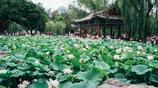 北京城兩個公園,小暑節氣荷花滿池塘,門票只需2元