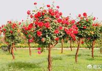 現在樹狀月季綠化的特別多,樹狀月季嫁接用的是什麼砧木,砧木能規模種植嗎?