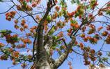 深圳:鳳凰樹上鳳凰花,鳳凰花開鳳凰落