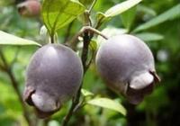 山裡才有的一種野果,吃了牙齒和舌頭都會發黑,你吃過嗎?