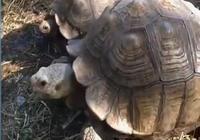 40歲的烏龜被狗追,不小心摔裂了龜殼,做手術花了3000美元