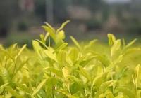 知茶丨黃茶品種介紹
