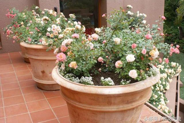 新手用花盆種玫瑰、月季,你需要懂得這幾個基本技巧