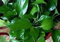 """河南李大姐養綠蘿,只用這""""2種水"""",半年養出70多盆,葉片油綠"""