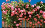 植物圖集:薔薇美圖