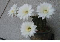 那些喜歡養仙人掌的大神們,是如何給花換盆的,一起來學一下吧