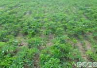 種植白芷田間主要的管理措施有哪些?種植白芷什麼時候需要追肥?