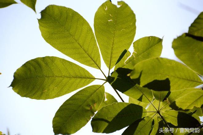 七葉樹,又名娑羅樹,因其樹葉似手掌多為七個葉片而得名