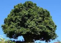 雲南普洱茶千年古茶樹樹齡排行榜,有兩個我真沒聽說過