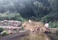 地面溼滑,狗子超速,一下子扎河裡了,狗狗:我控制不住我自己啊