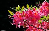 燦爛的杜鵑花