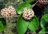 """純乾貨//你的球蘭為何只長葉不開花?可能是做了""""這幾個小動作"""""""