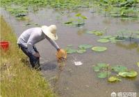 我有20幾畝藕田,今年想搞養殖。但不知道是養小龍蝦好、還是養黃鱔或者泥鰍好?