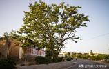 晉南六旬大叔家有棵大槐樹 他說樹給他帶來好運 多少錢都不賣