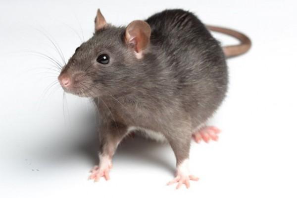 老鼠最怕什麼?