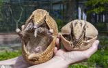 這不是砸開口的核桃,這是一種稀罕的小動物,認識它的人估計不多