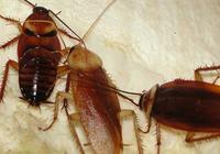 蟑螂多別踩死!一根絲瓜,就能把蟑螂徹底消滅,蟑螂1只也找不到
