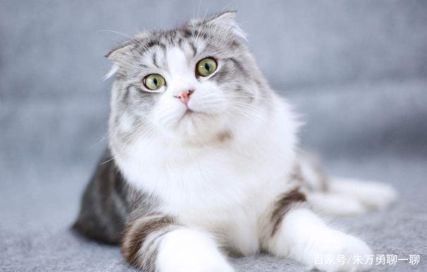 折耳貓的痛苦你們知道嗎?