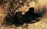 罕見的黑美洲豹,睥睨拍照的遊客,霸氣十足