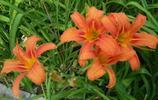 橙色萱草花,美麗似百合