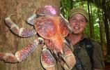 比帝王蟹還大隻的叫做椰子蟹,能長到1米長,擅長爬樹摘椰子!