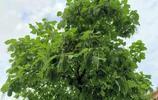 大樹上長豆角您見過嗎?有誰知道這是啥樹?