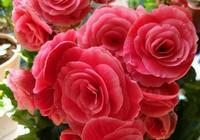 最難養的花之一,漂亮不遜玫瑰牡丹,號稱夏必死,養死它的出來!