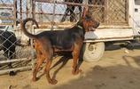 國產版萊州紅犬,這體型也算上是重量級了,看家護院首選犬隻