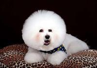 體味最大的狗和最粘人的狗是什麼狗?