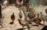 影像記錄 24歲農家女辭職回家搞特色養殖,三年終於賺錢了
