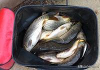 釣魚前誘魚是關鍵,三種酒米配方送給你讓你多多釣魚