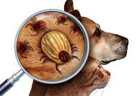 治療狗狗耳蟎,很多寵物主人都錯在這一步,導致耳蟎老是治不好