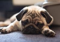 最適合妹子養的10種小型犬,不過養泰迪,要好好考慮!