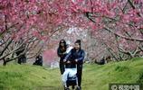 安徽合肥千畝桃花盛開引來眾多遊人