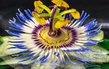 西番蓮,奇異的花