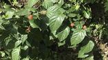 山裡的野果子長的像草莓,叫不出名字,農民山裡幹活用它解渴