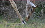 兔子遭遇危險,尋求長頸鹿庇護,長頸鹿暖心守護