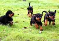 九個幼犬餵養注意事項(養犬沒有經驗的朋友看看)