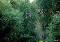 臨汾:汾河上的斑嘴鴨