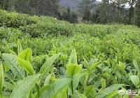 現在市場上的春茶有多少是真的,多少是假的?