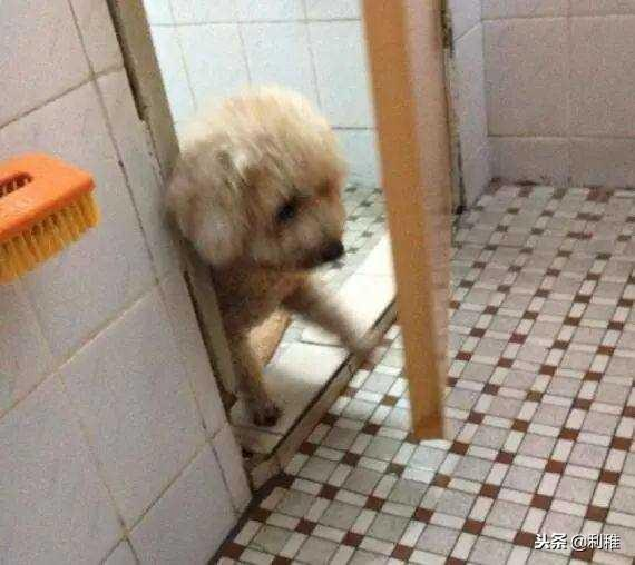 泰迪犬聰明嗎 智商排名第二的狗兒子,它到底有多色?